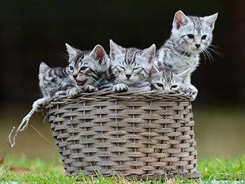 Bengal Kittens | Bengals Australia