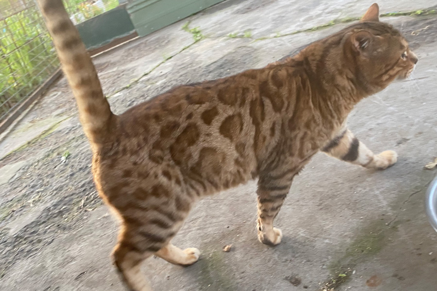 Winchester Russ Bengal Sire